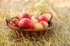 Apples in basket. Ripe fresh apples in wicker basket Royalty Free Stock Photo