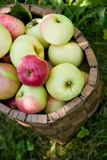 Apples in the basket. Red and green apples in the basket stock photo