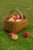 Apples in the Basket. Fresh and colorful apples in basket Royalty Free Stock Photos