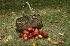 Apples in basket in the garden Royalty Free Stock Photo