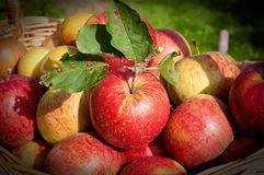 Apples. In the basket  in the garden Royalty Free Stock Photography