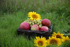 Apples in basket on green grass stock photos