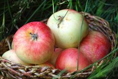Apples in a basket in green grass. stock image