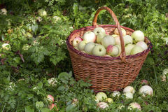 Apples in the Basket Royalty Free Stock Photos