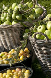 Apples in basket and prunes in bucket Royalty Free Stock Photo