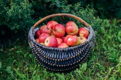 Apples in a basket. Red apples in a basket on the grass stock photography