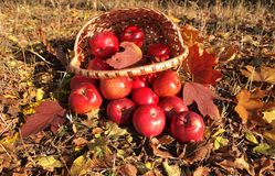 Apples in basket. Red apples in a basket. Harvest Festival Royalty Free Stock Image