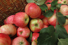 Apples in a basket. Ripe juicy apples in a wicker basket. The background is a rich harvest Royalty Free Stock Photo