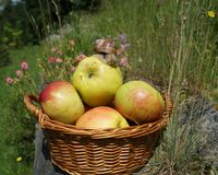 Apples in a basket  and snail Royalty Free Stock Images