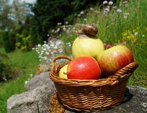 Apples in a basket  and snail Stock Photography