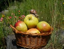 Apples in a basket , and snail Stock Images
