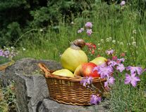 Apples in a basket , and snail Royalty Free Stock Image