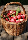 Apples. In basket on the table in the garden Stock Images