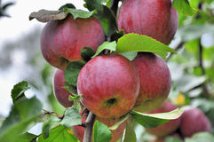 Red riped apple on tree branch royalty free stock photos
