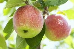 Apples. Beautiful organic apples on a tree Royalty Free Stock Photos