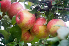 Apples. Beautiful apples on a tree Royalty Free Stock Photo