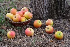 Apples best vitamin for health, autumn harvest Stock Image