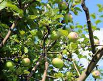 Apples blush on the branches of the apple tree. Juicy apples blush on the branches of the apple tree Royalty Free Stock Photo