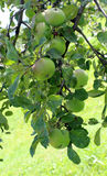 Apples blush on the branches of the apple tree. Juicy apples blush on the branches of the apple tree Stock Image