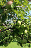 Apples blush on the branches of the apple tree. Juicy apples blush on the branches of the apple tree Royalty Free Stock Photos