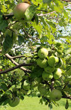 Apples blush on the branches of the apple tree Royalty Free Stock Images