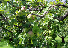 Apples blush on the branches of the apple tree. Juicy apples blush on the branches of the apple tree Royalty Free Stock Images