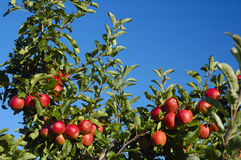Apples on the bough. The boughs of an apple tree in late summer, laden down with rich red fruit, set against a clear blue sky. Space for text in the sky Stock Photography