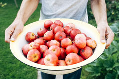 Apples in Bowl Held by a Man in Grey Shirt Stock Photos