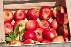 Apples in a box Stock Image