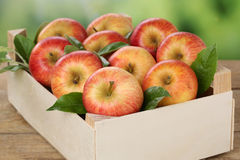 Apples in a box in autumn Stock Photography