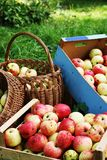 Apples in boxes and buskets. Stock Photography