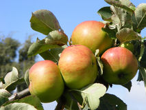 Apples on the branch Stock Photography