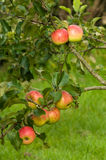 Apples on a branch Royalty Free Stock Photography