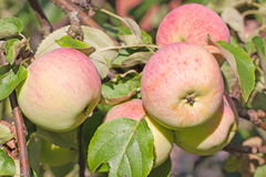 Apples on the branch Royalty Free Stock Image