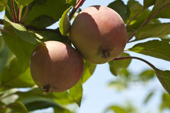 Apples on branch. Nice juicy apples on the branch Royalty Free Stock Photography
