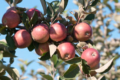 Apples on a Branch. Red ripe apples on apple tree branch, blue sky background royalty free stock images