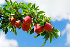 Apples on a branch royalty free stock image