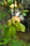 Apples on a branch Royalty Free Stock Photo