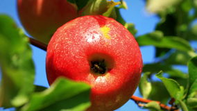 Apples on a branch. Close-up of apples on a branch stock footage