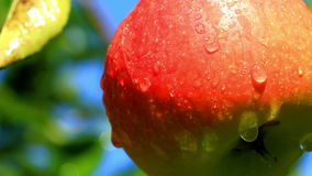 Apples on a branch. Close-up of apples on a branch stock video footage