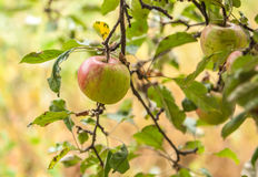 Apples on branch Royalty Free Stock Image