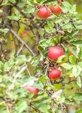 Apples on branch Royalty Free Stock Photography