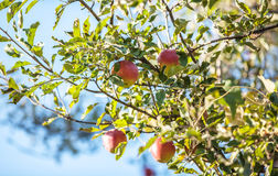 Apples on branch Stock Image