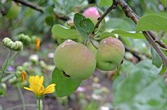 Apples on a branch close up royalty free stock photo
