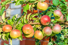 Apples on a branch in the evening sun Stock Images