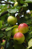 Apples on a branch. A few green and red apples surrounded by leaves on the branch of an apple tree Stock Photography