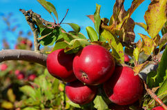 Apples on Branch. Four Red Delicious apples on stem in a u-pick New York farm during harvest season Royalty Free Stock Photo