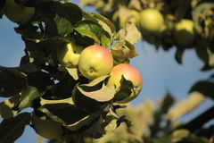 Apples on a branch. Fresh apples on a tree branch Royalty Free Stock Photography