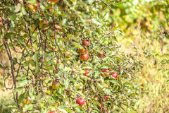 Apples on branch Stock Photography