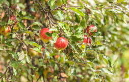Apples on branch Royalty Free Stock Photos